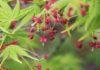 近くの谷川沿いで、イロハモミジの若葉と花。森でアオキの花とコバノミツバツツジ♪