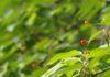 近くの森で、梅雨入り前のひととき。山桜の実、野の花ドクダミ 、深緑の中に咲く白いイボタノキの花と出合う