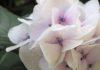 二年ぶりに咲いたあじさいの色。大阪北部地震のときの自分と「メタ認知」という生きる力