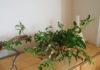 ベランダで木を育てるめぐみ。グミの枝をとことん愉しむ