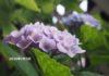 アジサイの咲く景色に憧れて20年。思わぬきっかけでアジサイが咲き続ける